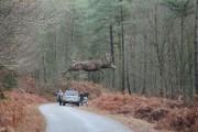 INSOLITE : un cerf de 130 kg en plein vol !