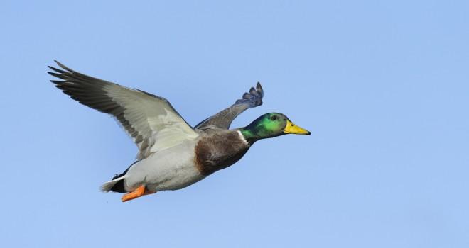 Chasse du gibier d 39 eau et des oiseaux de passage chasseurs de l 39 est - Chasse oiseaux electronique ...